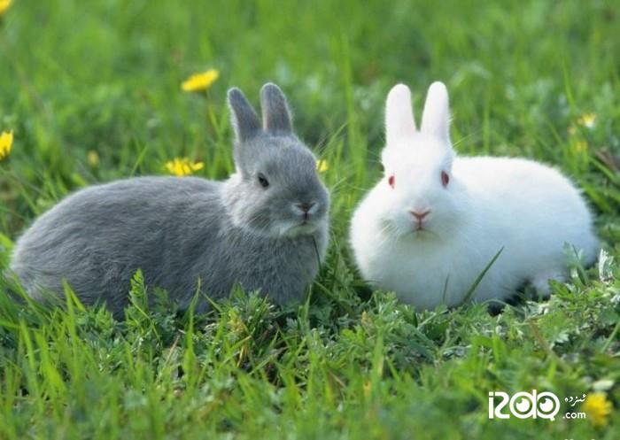توشقان(兔子)